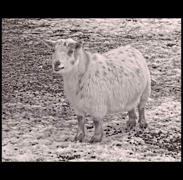 Sheep_DSC0038